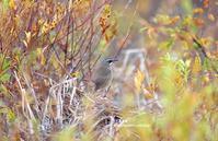 草紅葉のなかのノゴマ - azure 自然散策 ~自然・季節・野鳥~