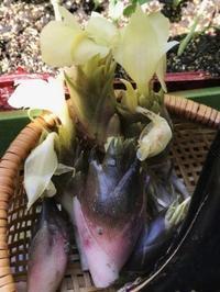 茗荷とスナップエンドウの苗 - 島暮らしのケセラセラ