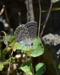 クロツバメシジミも(^ω^)・・・ - 超蝶