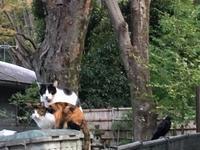 猫とカラス - ミニチュアブルテリア ダージと一緒3