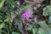 ■ホシホウジャク18.10.8 - 舞岡公園の自然2