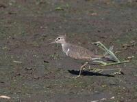 イソシギもいた伊佐沼 - コーヒー党の野鳥と自然 パート2
