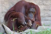 僕の名前はロキ、生れて3ヶ月のオランウータンです(多摩動物園) - 旅プラスの日記