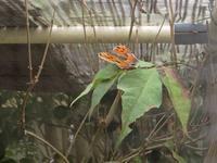 実験中のヒオドシが覚醒してしまった - 秩父の蝶