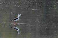 MFの沼でセイタカシギを撮る - 私の鳥撮り散歩