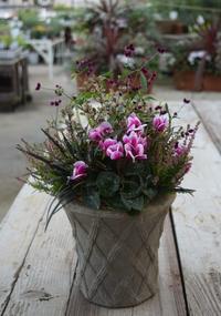 ガーデンシクラメンの寄せ植え - ヒバリのつぶやき