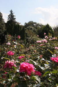 花ファンタジア バラ - 燕雀の夢