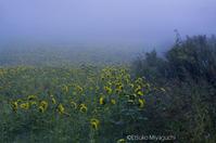 朝霧ひまわり - ekkoの --- four seasons --- 北海道