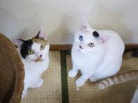 猫のお留守番 ちびちゃんオッドちゃん編。 - ゆきねこ猫家族