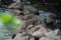 近所の川にササゴイ - Slow Life is Busy