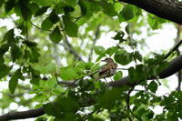 トラツグミ10月08日 - 旧サンヨン野鳥撮影放浪記