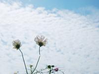 コスモスと鰯雲 - いつかみたソラ