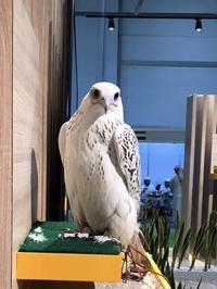Falcon beauty competition in ADIHEX 2018 優勝 'Al Kamda Falcons'とSTOOPER - 新米ファルコナー(鷹匠)の随想録