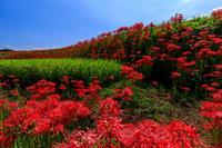 一言主神社周辺の彼岸花光景 - 花景色-K.W.C. PhotoBlog