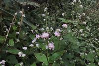 ■ミゾソバにとまる虫 3種18.10.9(ハナアブ、アシブトハナアブ、シロオビノメイガ) - 舞岡公園の自然2