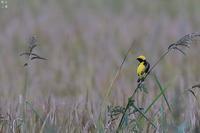 日本には居ないはずの鳥オウゴンチョウ - 野鳥公園