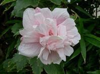ムクゲの蕾が綺麗! - 花と葉っぱ