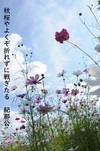 紀那公の写真俳句その30(コスモスに思うこと) - 白雪ばぁばのかんづめ