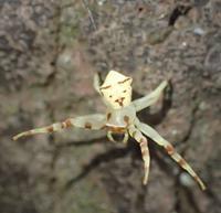 アズチグモおすThomisus labefactus - 写ればおっけー。コンデジで虫写真