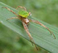 サツマノミダマシ(薩摩の実騙し、Neoscona scylloides ) - 写ればおっけー。コンデジで虫写真