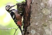 オオアカゲラ - 今日の鳥さんⅡ