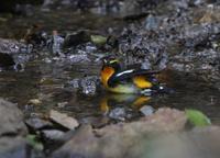 水浴、、 - ぶらり探鳥