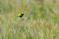 やっと撮れた黄金鳥2 - 比企丘陵の自然