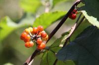 ウオトリギなど赤い実と、カシワバハグマ - 子猫の迷い道Ⅱ