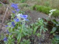 ブルーサルビア - だんご虫の花
