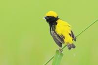 オウゴンチョウ Ⅴ実物大に - 気まぐれ野鳥写真