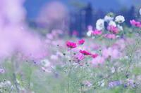 秋桜 + 望遠。 - Yuruyuru Photograph