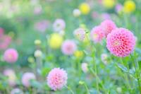 両神山麓花の郷ダリア園(埼玉県秩父郡) - Photographie de la couleur