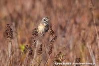ホオアカ - 気ままに野鳥観察
