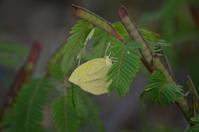 ツマグロキチョウ10月10日 - 超蝶