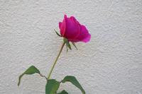 秋色ジェームズLオースチン - my small garden~sugar plum~