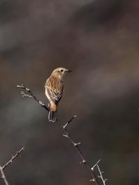 まだ残っていたノビタキ - コーヒー党の野鳥と自然 パート2