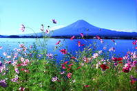 30年9月の富士(19)河口湖の秋桜と富士 - 富士への散歩道 ~撮影記~