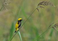 オウゴンチョウ - 今日も鳥撮り