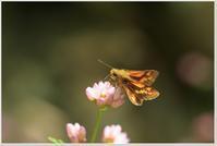 ミゾソバの花に集まる蝶たち - ハチミツの海を渡る風の音