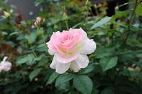庭のバラとコスモス園 - ユリ 百合 ゆり 魚沼農場の日々