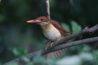 アカショウビン(幼鳥) Ⅴエンゼルポーズ - 気まぐれ野鳥写真