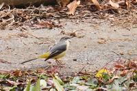 セキレイさんたち - * Toypoodle  x3 + Birds *