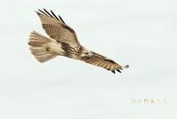 ノスリ - 北の野鳥たち