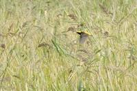 外国の鳥「オウゴンチョウ」 - 何でも写真館