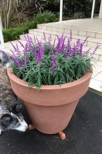美しいセージの紫に癒されて・・・・・。 - パームツリー越しにgood morning        アロマであなたの今に寄り添うブログ