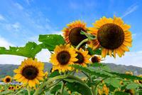 え!?今頃ひまわり大原野(なんやかんや!大原野) - 花景色-K.W.C. PhotoBlog