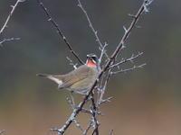 戦場ヶ原でノゴマと遭遇 - コーヒー党の野鳥と自然 パート2