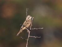 ホオアカも出てくれました - コーヒー党の野鳥と自然 パート2