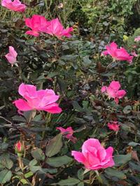 山下公園の秋薔薇 - piecing・針仕事と庭仕事の日々