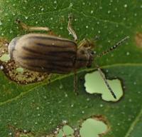 ブタクサハムシ Ophraella communa - 写ればおっけー。コンデジで虫写真